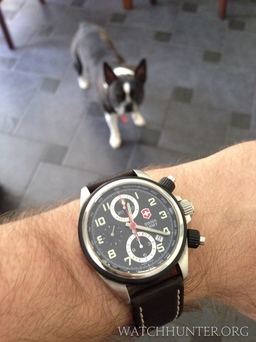 Zack the Boston Terrier thinks he perfectly matches my new acquired Chronopro watch
