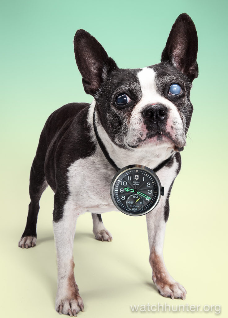 Buddy Luv the Boston Terrier doing his best Flavor Flav impression